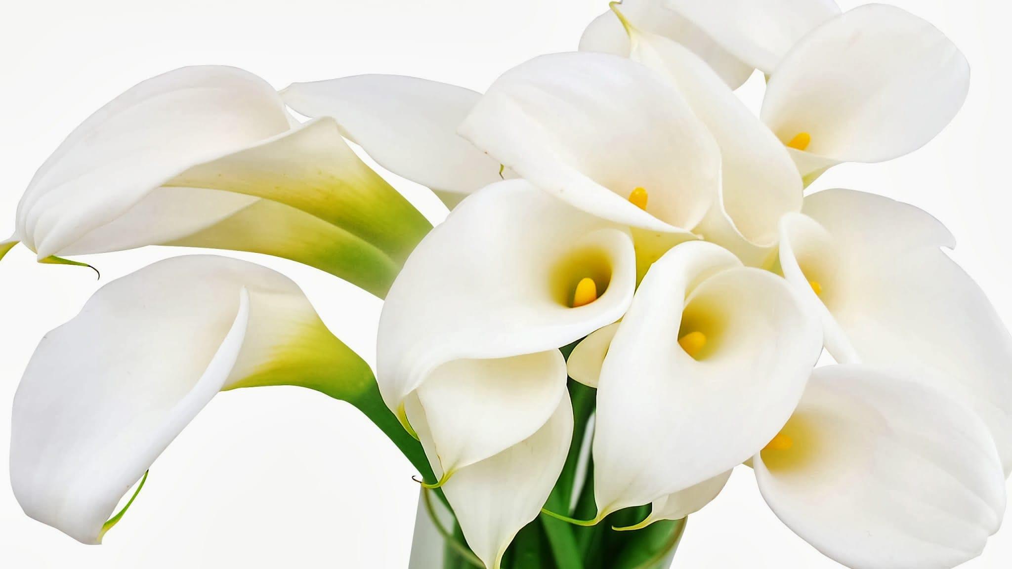 Белые каллы поштучно (70-75см)