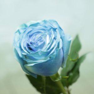 Розы хамелеоны поштучно