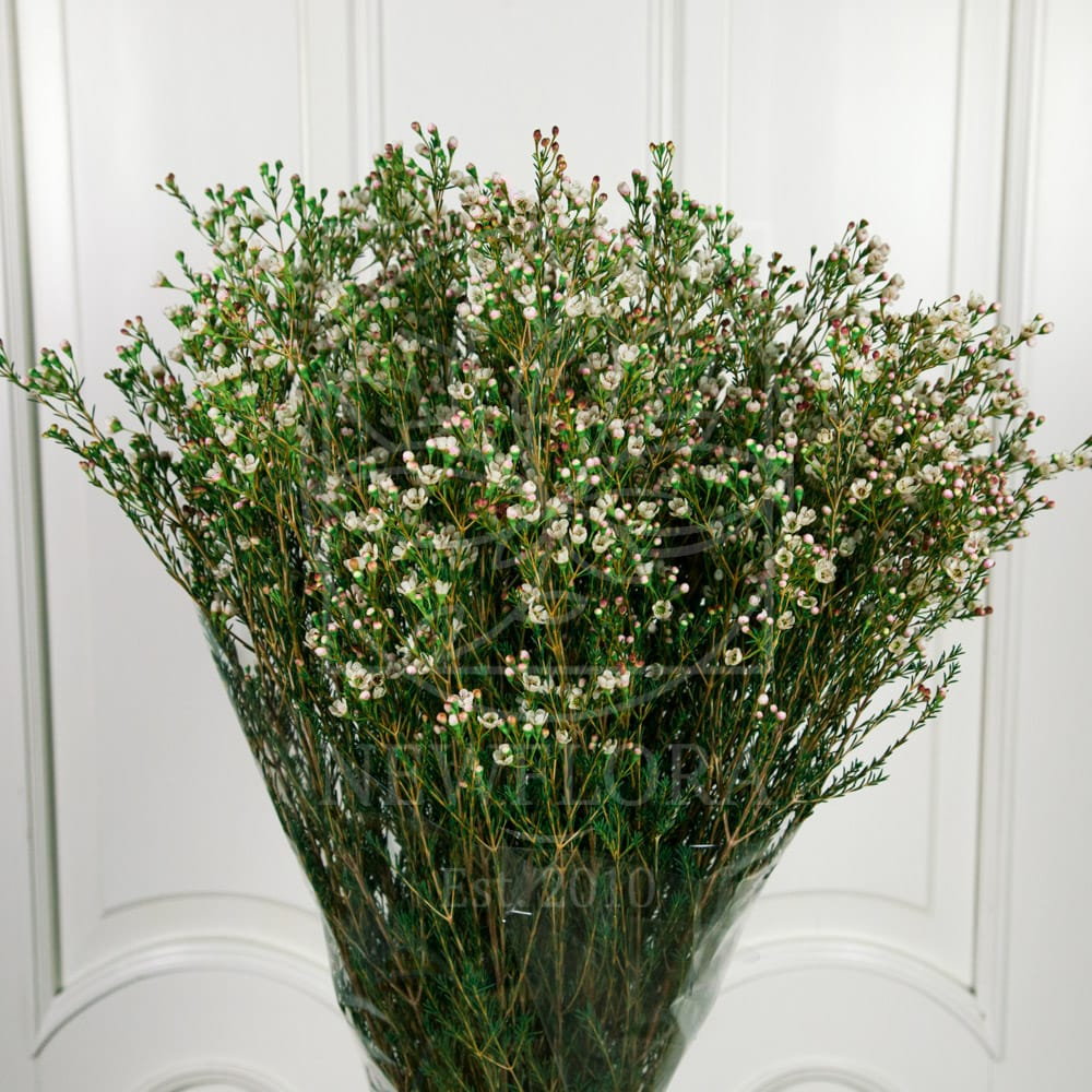 Букет 51 ваксфлауэр белый (хамелациум)