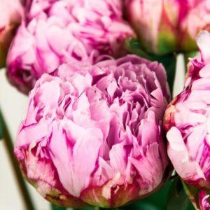 Букет 9 розовых пионов Сара Бернар
