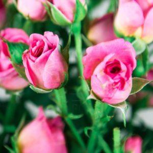 Букет 9 розовых кустовых роз