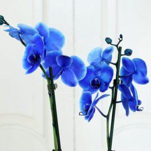 Орхидея фаленопсис синяя