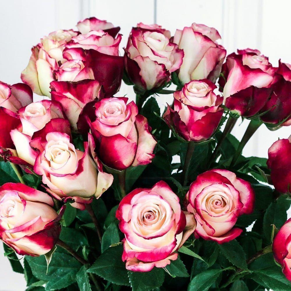 Букет 25 красно-белых роз 60см сорт Свитнес (Sweetness)