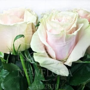 Букет 25 бело-розовых роз Pink Mondial (Premium)