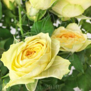 Букет 9 кустовых пионовидных желтых роз