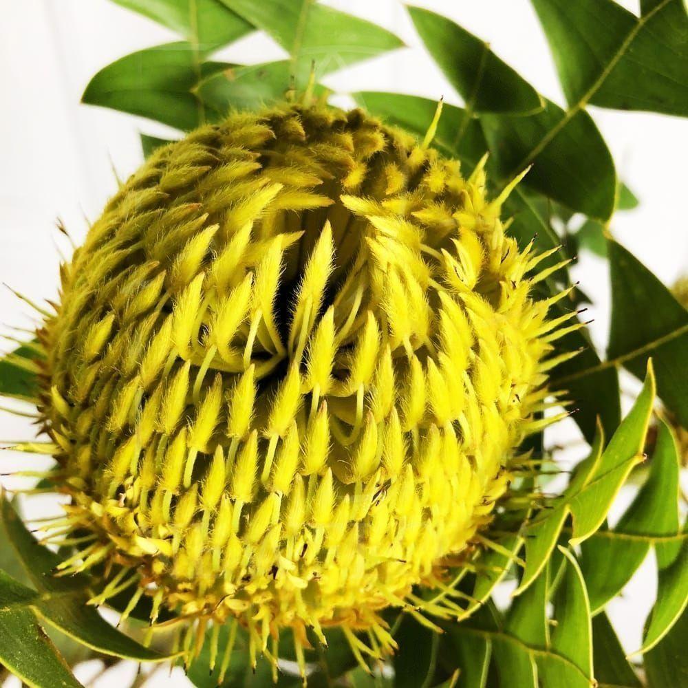 Экзотический цветок Банксия желтая