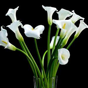 Белые каллы поштучно (60-70см)