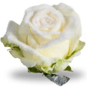 Белые снежные розы (под заказ)