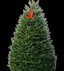 Пихта Фразера на новый год живая 150-170см (Premium)