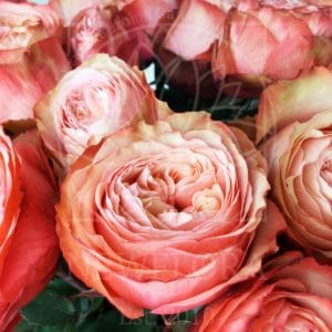 Букет 25 пионовидных роз Kahala