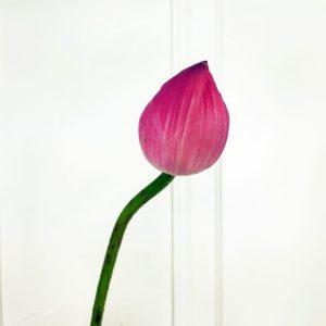 Лотос Нимфея поштучно (розовый)