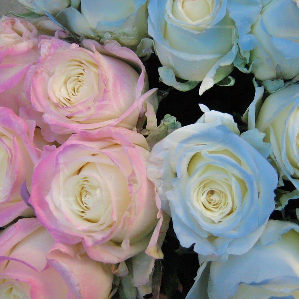 Солнечные розы хамелеоны поштучно