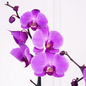 Орхидея фаленопсис сиреневая