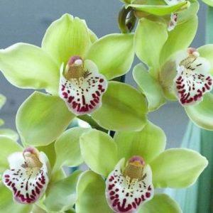 Орхидея фаленопсис зеленая