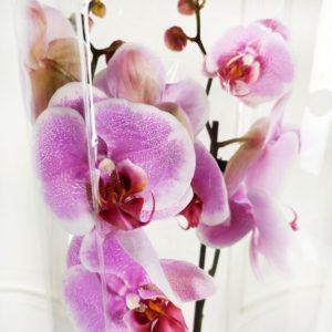 Орхидея фаленопсис розовая (в горшке)