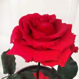 Красная роза в колбе с ароматом (Premium)