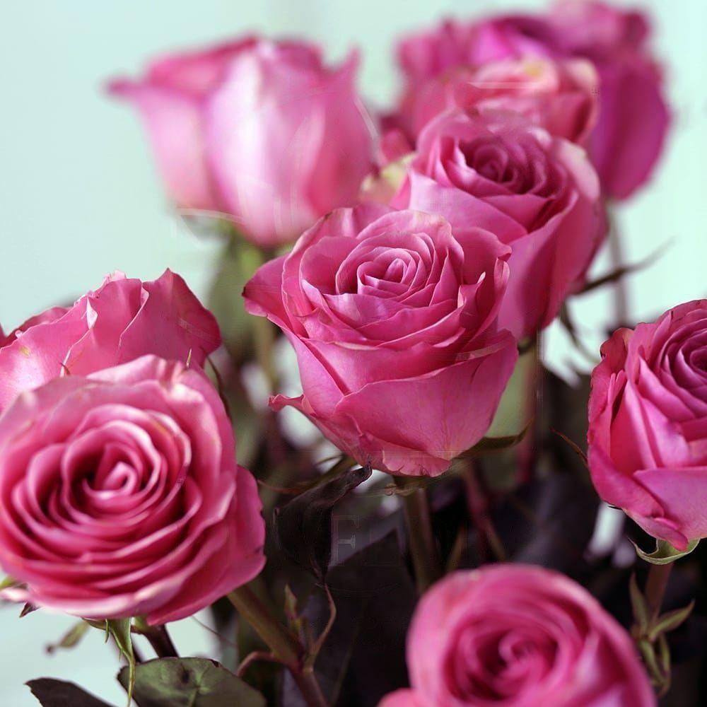 Букет 25 розовых роз Saga (Premium)
