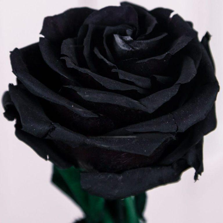 Заказать цветок черная роза — 11