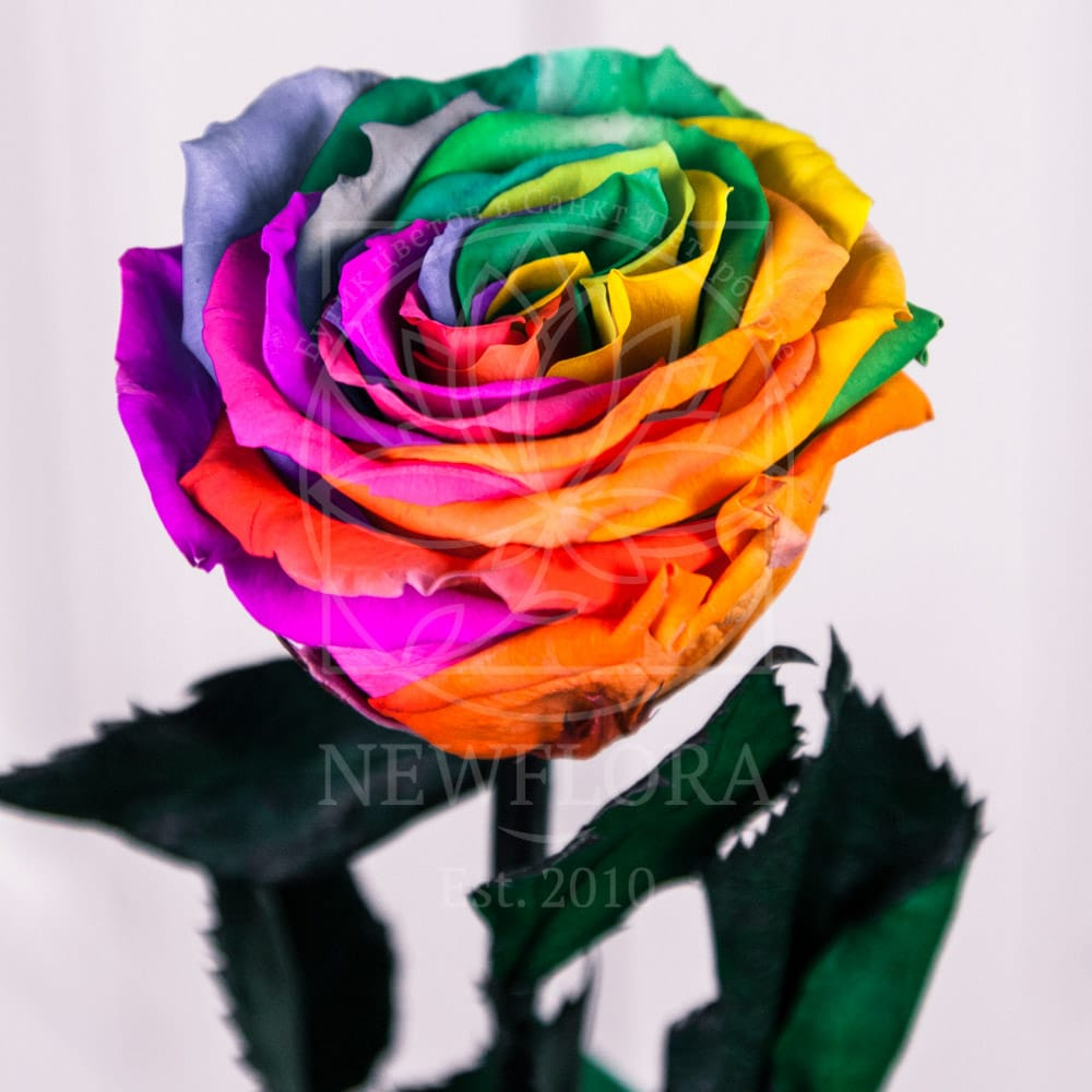 Стабилизированная радужная роза