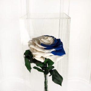 Двухцветная стабилизированная роза в акриловой коробке (цвет на выбор)