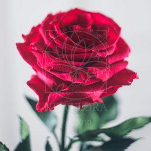 Красная роза в колбе DisneyRose