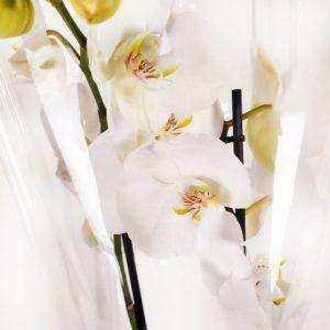 Орхидея фаленопсис белая (в горшке)