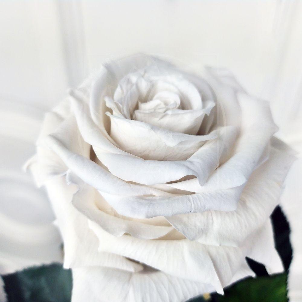 Белая роза в колбе с ароматом (Premium)