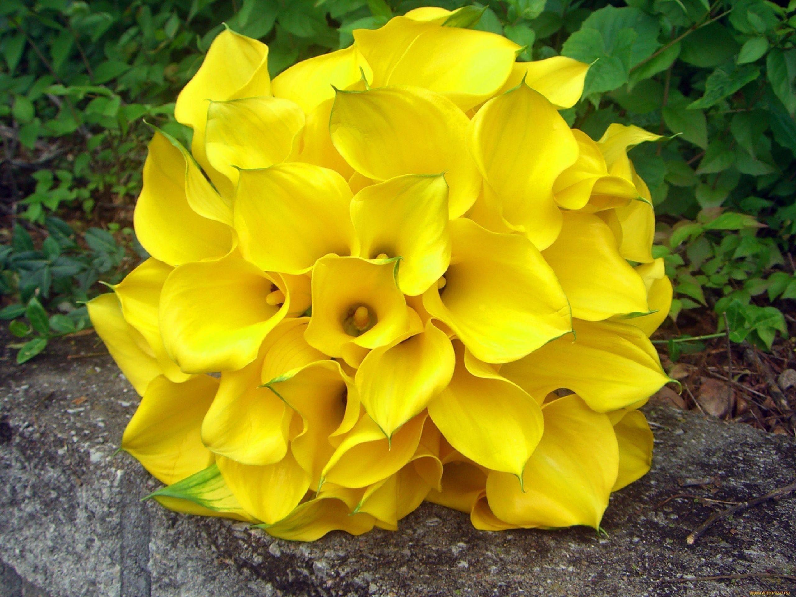 Желтые каллы поштучно (60-70см)