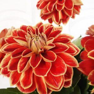 Букет 5 рыжих георгинов (Maxima)