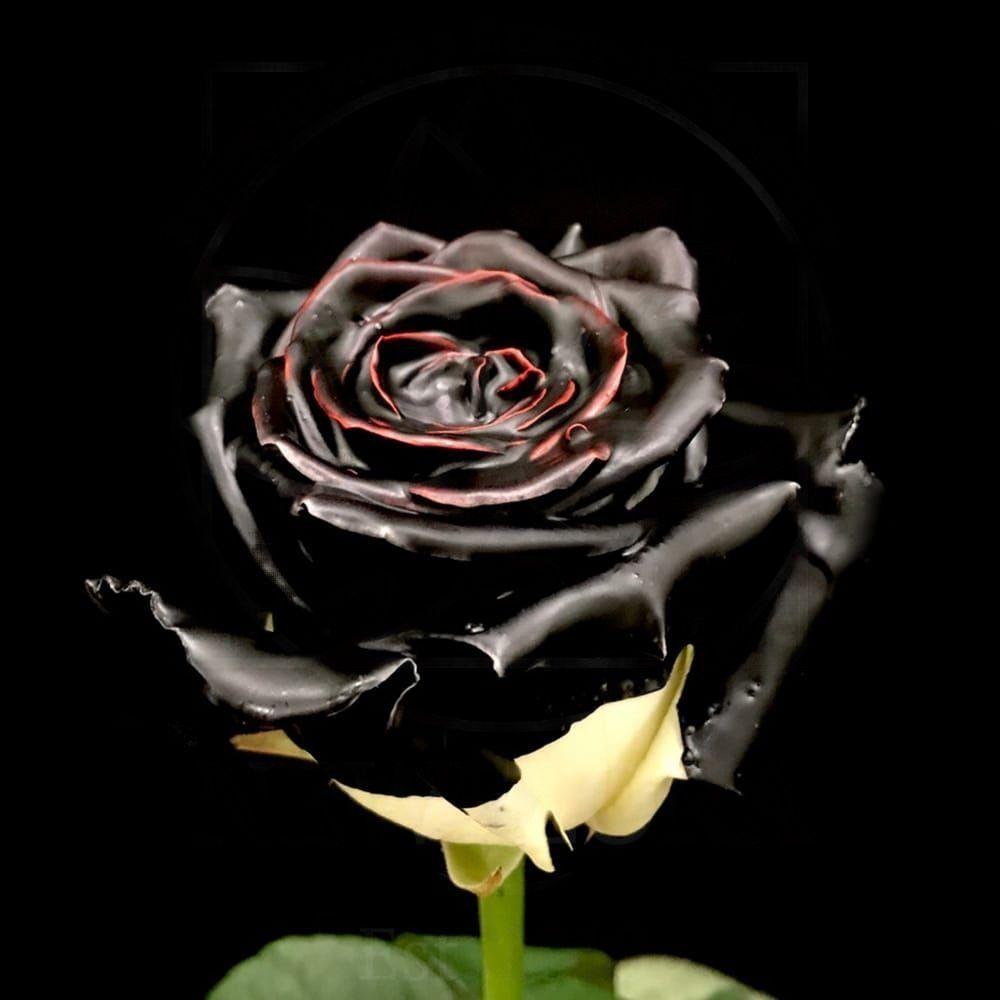 Роза натуральная восковая черная