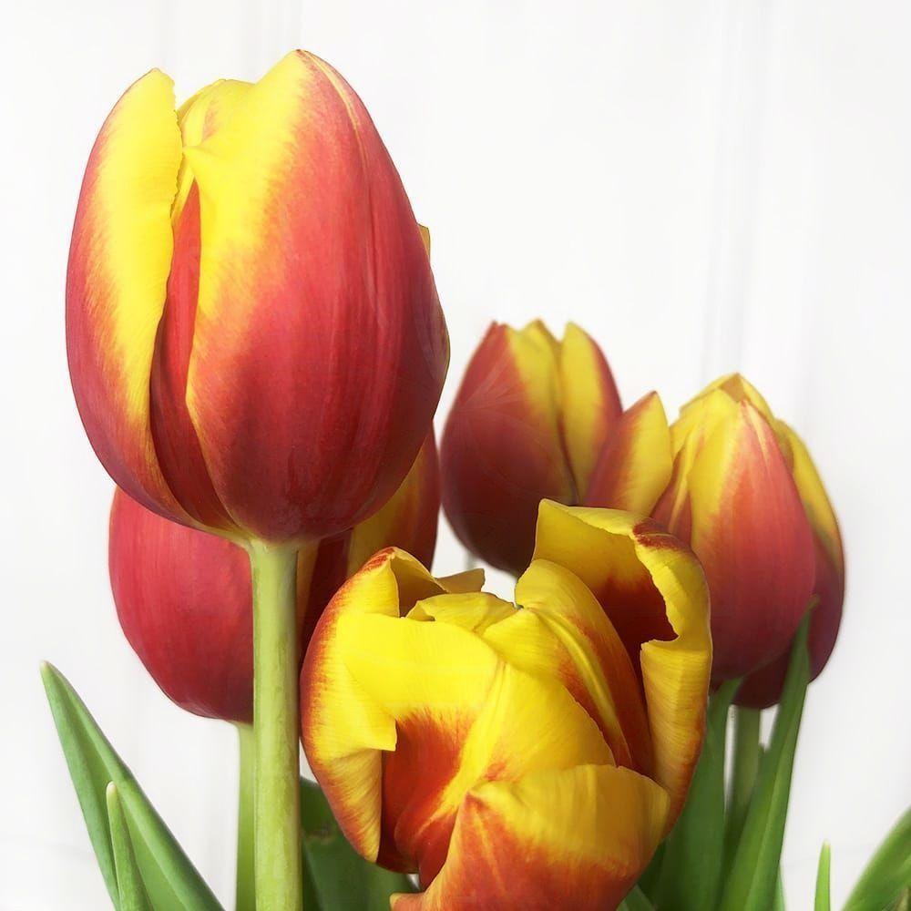 Персиковые высокие тюльпаны гиганты с луковицей (от 60см)