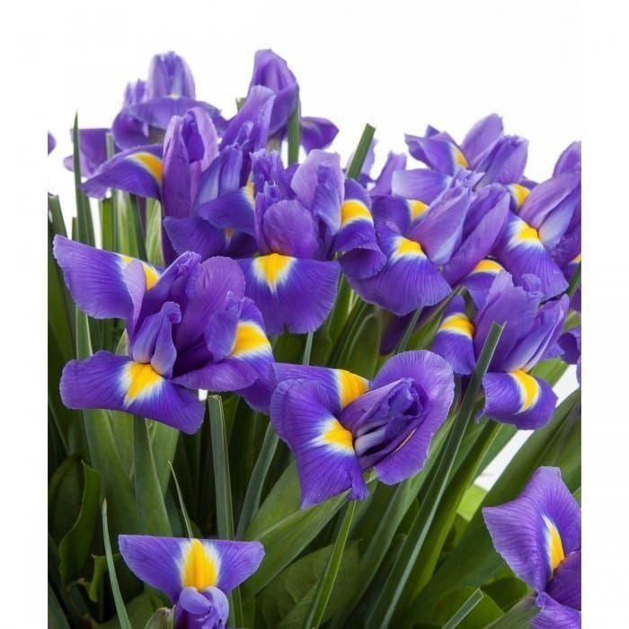 Букет 51 фиолетовый ирис