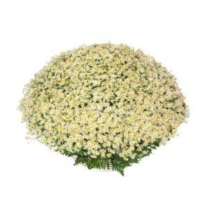 Большая корзина цветов 301 кустовая ромашка с папоротником