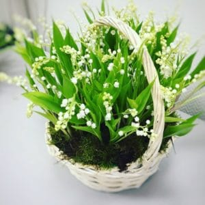 Корзина цветов 51 импортный ландыш с корневой системой и мхом