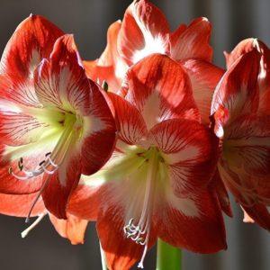 Амариллисы поштучно (цвет на выбор)