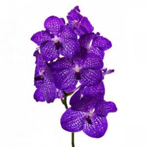 Орхидея ванда синяя (40-50см)