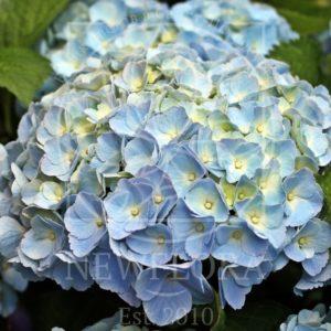 Голубая гортензия маленькая (поштучно)