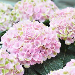 Розовая-зеленая гортензия маленькая (поштучно)