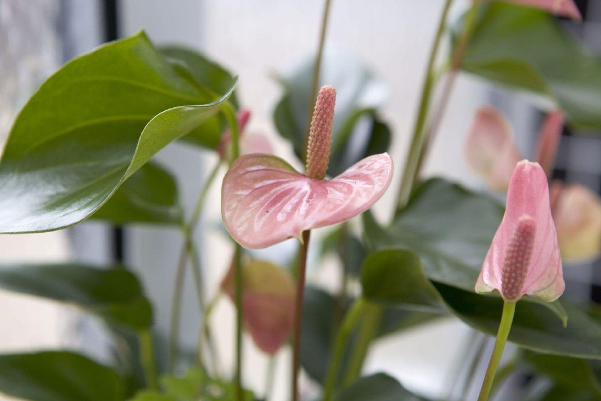 Антуриум андрианум розовый в горшке (Anthurium Andreanum Champion)