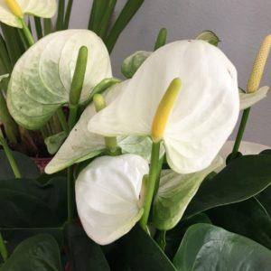 Антуриум андрианум белый в горшке (Anthurium Andreanum Champion)