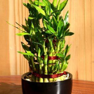 Драцена «бамбук лаки» в керамическом горшке 10×20см