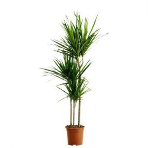 Драцена маргината 3 стебля в горшке высотой 120см (Dracaena marginata)