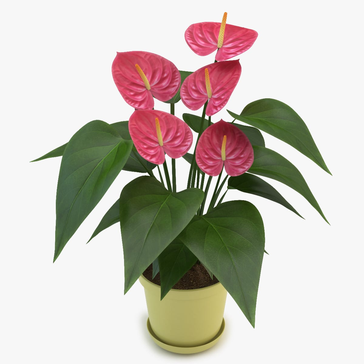 Антуриум андрианум микс в горшке (Anthurium andreanum mix)