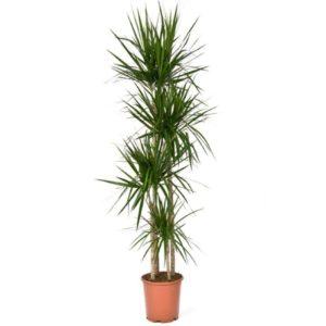 Драцена маргината высотой 150см в горшке (Dracena marginata)
