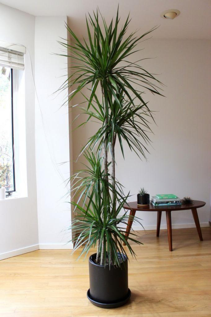 Драцена маргината высотой 200см в горшке (Dracaena marginata)