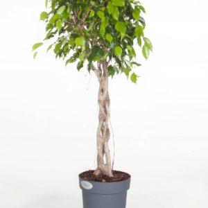 Фикус бенджамина переплетенный гигант высотой 120см в горшке (Ficus benjamina exotica twist)