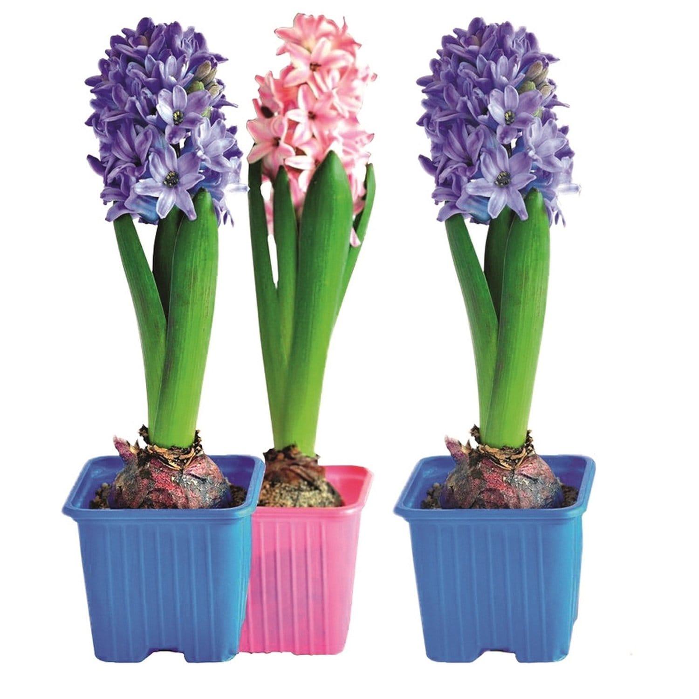 Луковичные цветы купить интернет магазин, букетов кривому рогу
