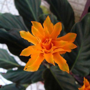 Калатея кроката в горшке (Calathea crocata)
