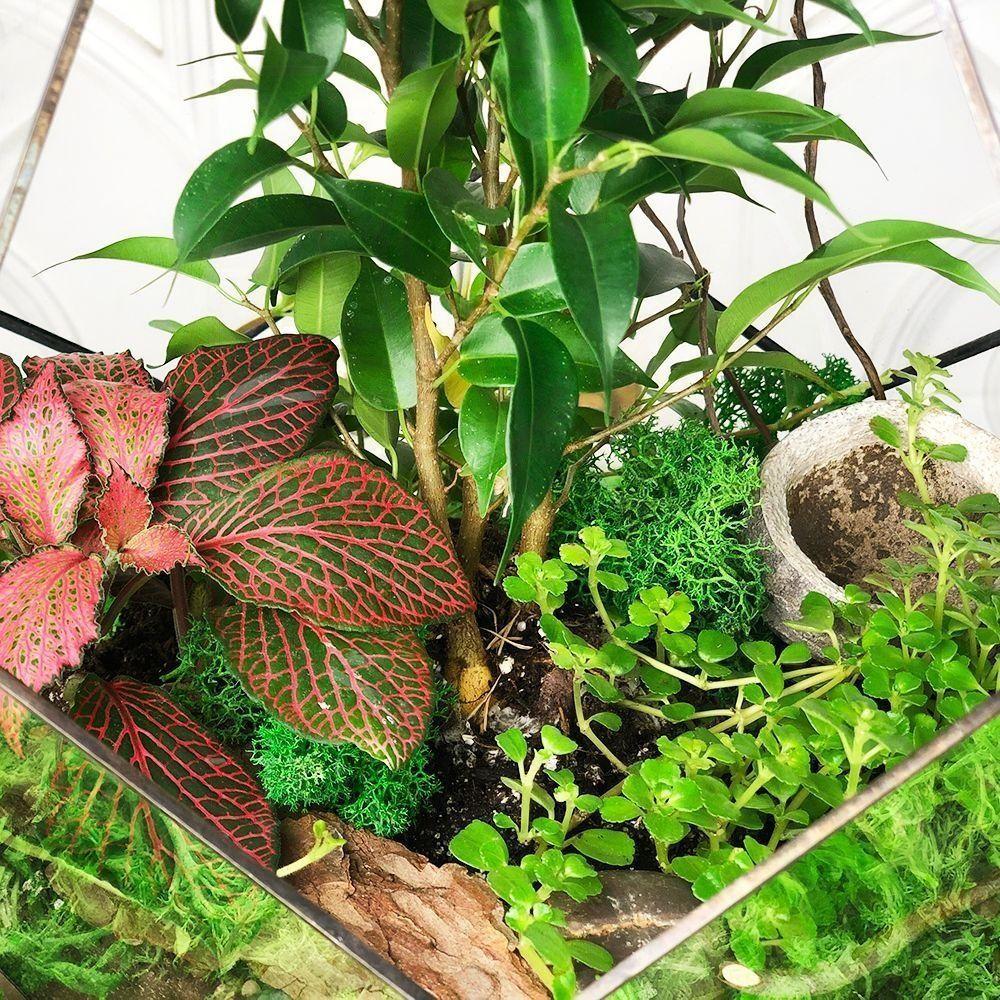 Флорариум с фикусом бенджамина 35×20см