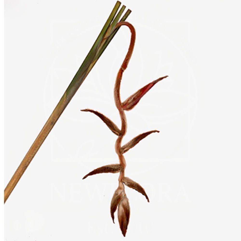 Геликония валлеригера «heliconia she kong» 100-140см